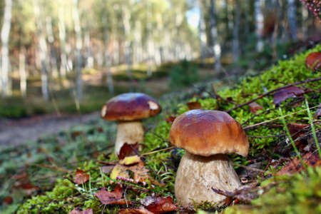 Two mushroom boletus edulis  in the forest photo
