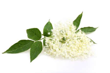 Elderberry flower on a white
