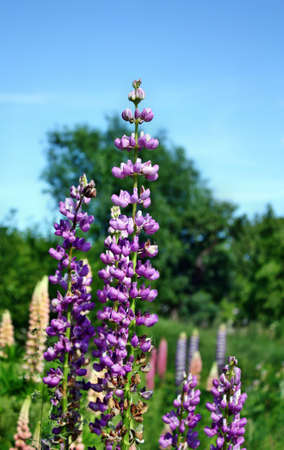 lupins: Lupins growing in the garden beautiful blue sky background Stock Photo