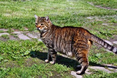 gray cat: Walking ambush beautiful gray cat