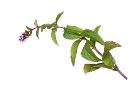 green herbs: Mint mentha pulegium herbs isolated on a white background Stock Photo