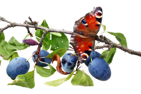 io: Plums fresh fruit and butterfly on white isolated background