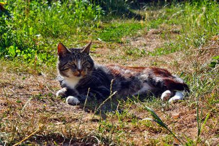 ambush: Walking ambush beautiful gray white cat