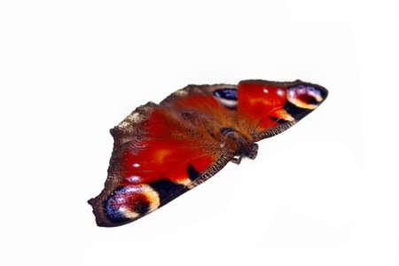 rosa negra: Inachis europeos mariposa pavo real io sobre fondo blanco aislado