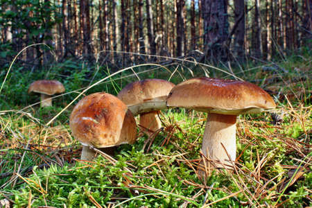 Group mushroom boletus edulis in the forest
