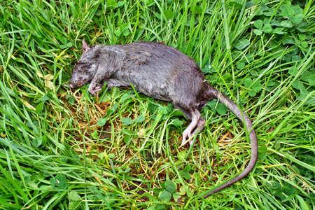 poisoned: Poisoned rodent poison lying dead big rat