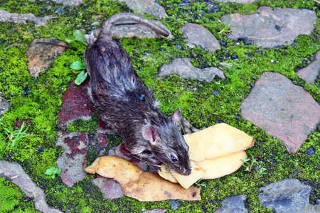 Poisoned rodent  lying dead big rat and spilled peels the potatoes