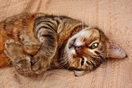 Funny beautiful cat looking and lying on a blanket at home