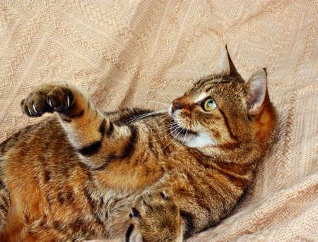 gato jugando: Amused, blissful cat playing on blanket