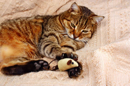 Funny, beautiful cat playing with the mouse on a blanket in the house