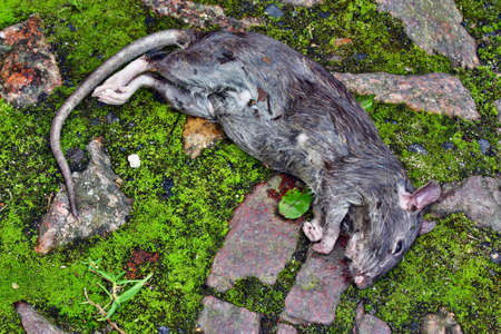 Poisoned rodent poison lying dead big rat