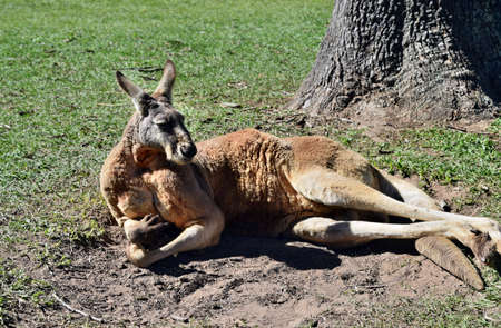Very muscular wild red kangaroo lying on the grass in Queensland, Australia Stock Photo
