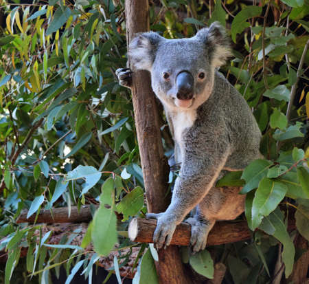 かわいいコアラがオーストラリアでツリー ブランチ ユーカリを