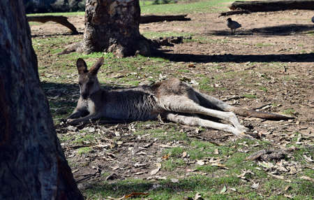 Wild grey kangaroo resting in Queensland, Australia Stock Photo