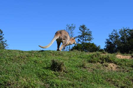 野生の赤カンガルー立っているクイーンズランド、オーストラリアで草の上