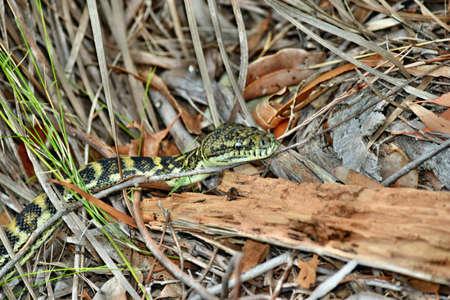 Australian snake coastal carpet python ( Morelia spilota mcdowelli) in Sunshine Coast, Queensland, Australia