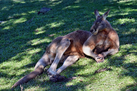 Very big wild red kangaroo sleeping and resting on the grass in Queensland, Australia
