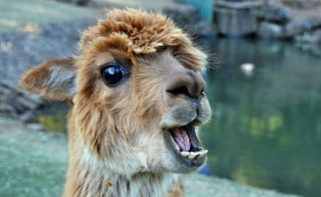 A Beautiful And Funny Brown Lama Laughing On A Farm In Australia Stock Photo