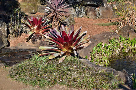 Aechmea alcantarea plant growing in the garden