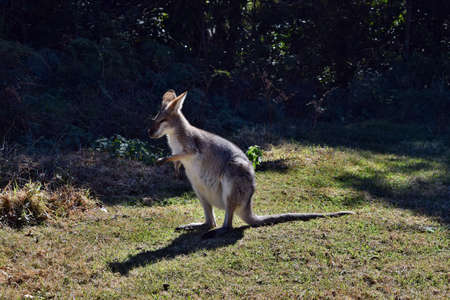 Young cute wild grey kangaroo sitting and looking on the grass in Bunya National Park, Queensland, Australia
