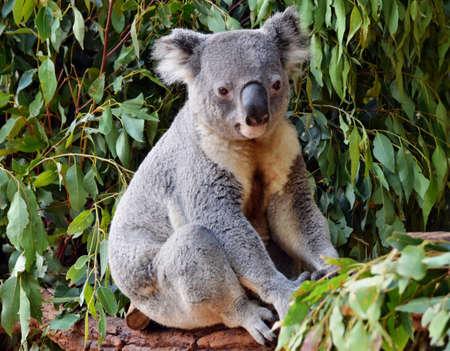 Cute koala looking on a tree branch eucalyptus in Australia