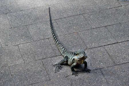 The Australian lizard eastern water dragon ( Physignathus lesueurii) on pavement city center in Brisbane, Queensland, Australia