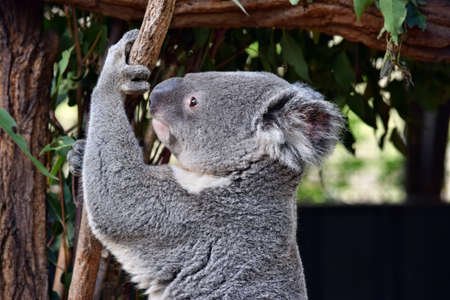 Cute koala looking on a tree branch eucalyptus in Australia