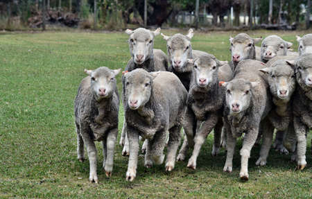 Escaping sheeps which a cattle dog kelpie chasing in agriculture farm in Australia