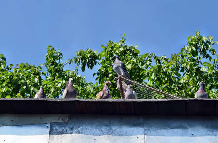 Group of pigeons bird standing on roof dovecote