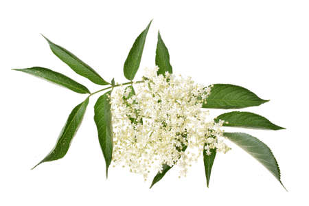 Elderflower and leaves isolated on white background Stok Fotoğraf