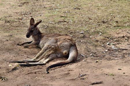 Wild red kangaroo resting in Queensland, Australia 写真素材