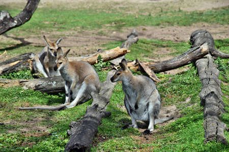 Group of young, cute, wild, gray wallaby kangaroo sitting on the grass in Sunshine Coast, Queensland, Australia
