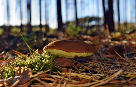 Xerocomus badius mushrooms are growing in the forest