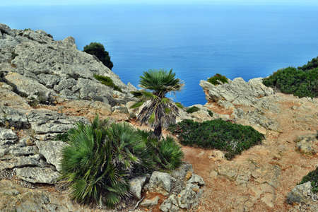 Dwarf mediterranean palm chamaerops humilis is growing on the Formentor lighthouse in Mallorca, Spain