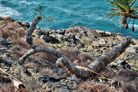 Old dry branch pandanus tectorius on ocean background in Noosa National Park on Queensland, Sunshine Coast, Australia
