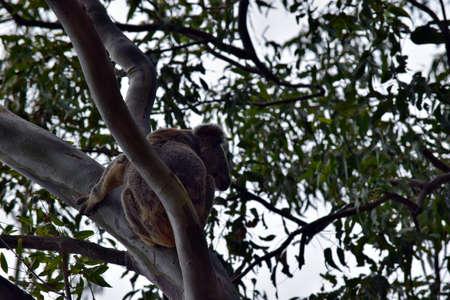 Cute wild koala bear is climbing on the tree in Noosa National Park, Queensland, Sunshine Coast, Australia Stock fotó