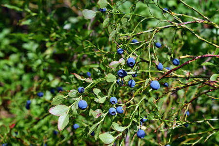 Healthy blueberry plant with ripe fruits in sunny forest