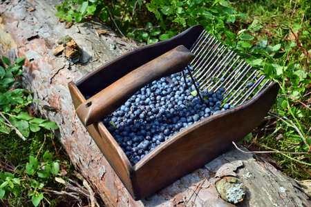 Special comb to picking blueberries in the forest