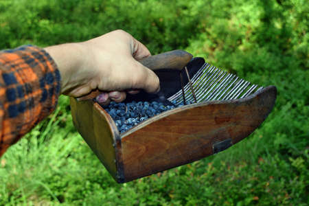 Man is picking blueberries with a special comb in the forest