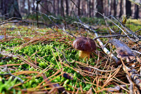 Xerocomus badius mushroom is growing in the forest
