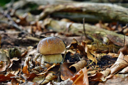Boletus edulis edible mushroom is growing in the forest