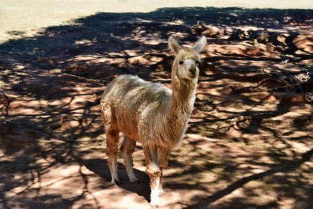 A beautiful and funny brown lama smile on a farm in Australia