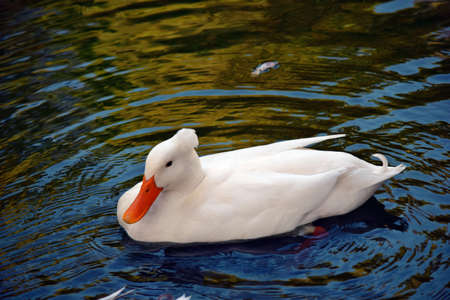 Beautiful American pekin duck swimming on the pond in Australia
