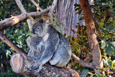 Beautiful koala with baby sitting on the branch eucalyptus in Australia Banque d'images