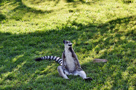 Beautiful young ring tailed lemur is sitting on the grass Фото со стока