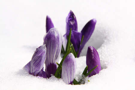 Spring purple crocuses covered with melting snow photo
