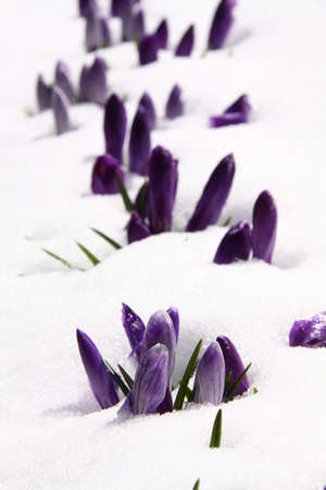 Spring purple crocuses covered with melting snow Stock Photo
