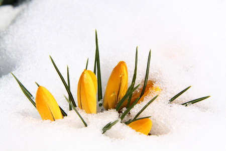 Spring yellow crocuses covered with melting snow Stock Photo