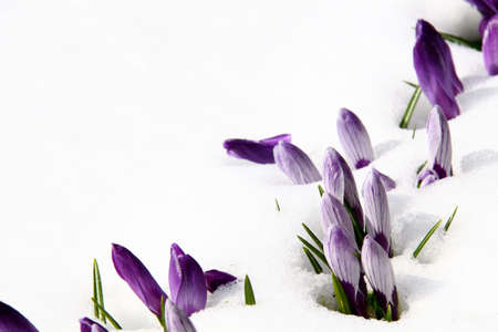 snow flowers: Spring purple crocuses covered with melting snow Stock Photo