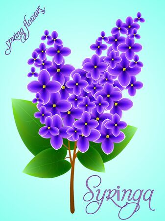 fragrant bouquet: Spring background with beautiful blooming lilac. Vector illustration